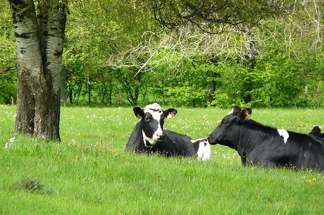 cows-livestock